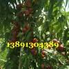 陕西珍珠油桃基地,珍珠早油桃产地批发大量上市
