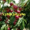 陕西珍珠油桃基地,珍珠早油桃产地批发珍珠油桃大量上市